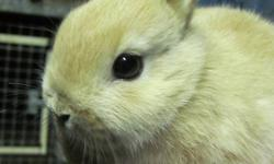 We have some little dwarfs we need to find homes for. We are asking $25 for our neutered males and $20 for our females. The pictures do not do these rabbits justice! I have over 50 years experience with rabbits so don't be afraid to ask any questions and