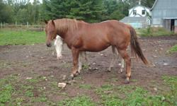 4 year old QH mare. Great disposition and confirmation. Sorrel with flaxen mane and tail. Halter broke and great barrel prospect. Very kind and willing. 14.2hh.  $1000   Sire and dam can be seen. Must go.
