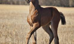 DTD Jess Too Fancy is just that - FANCY.  Purebred weanling filly, knows all the basics already, catches easily, leads, ties, good with feet/farrier, starting her round pen work and it is coming along very nicely, this would be a very fancy filly to show