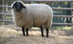 Quality show stock, Suffolk Ewe and Ram Lambs to supplement a flock. Price dependent on the animal starting at $450.  Also selling lamb sausage and wool quilt bats and wool socks.www.otterlakefarm.ca