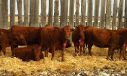 exposed to angus and gelbvieh bulls to calve april 1. ivomec and AD500 given and preg checked. 28 purebred heifers. Please call 570-4955 or 530-5805