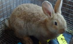 1 Female Purebreed Flemish Giant Available, 6 weeks old, sandy coloured, healthy and extremely friendly!! great ear length, will grow up to be 20pds she will make a perfect pet for anybody!!   both parents are fully pedigreed/tatooed-show quality mom