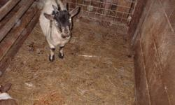 FOR SALE --7 MONTH OLD PYGMY GOAT.PLEASE CALL 613-374-3602 THIS AD IS NOT FOR ME SO PLEASE CALL THE NUMBER