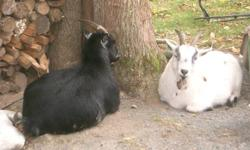 $250 Purebred pygmy goats 2 5 year old does (white and Black) they have horns