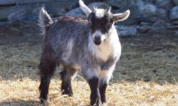 ALL as Pets!! (not to eat)   Looking for baby or young pygmy goats and /or nigerian dwarf goats in the springtime! looking for females, either babies or nicely mannered pregnant females....email me if you know where i could get some in cape breton, or