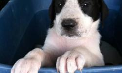 Best of both breeds In one mix Great Danes x Great Pyrenees. These puppy's will grow to be loyal, loving, companions, they will guard your home, you, and your live stock. They will have a med coat, they will do well in the cold weather! Excellent with