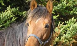 Two unregistered pure-bred quarter horse mares, 9 and 11 years old. Lovely mares with excellent stable manners. Pictures of last years foals available on request $900 each.