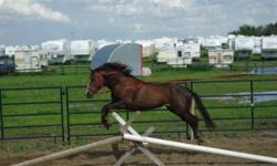 """""""Houston"""" is a 3yr old quarter horse well started. He is a very well bred cutting horse he is a direct son of Dual Pep and out of a Smart Lil Scoot mare.All summer he has been rode in a field, moving cows, started jumping and English work. He is 13.2 HH"""