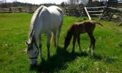I have two foundation bred gray quarter horse brood mares.  Gray Kit Tee Kat is a 12 year old halter and racing bred. Bankers Miss April is 10 year old halter bread who goes back to Two Eyed Jack.  Neither are broke but both are very quiet and have the