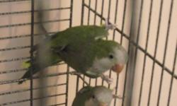 Parrots are five years old, healthy, and in good shape. They are bonded to each other and have bred successfully in the past. Unfortunately I do not have the time to breed them anymore. They prefer to be in a quiet area, and are only loud when they feel