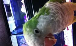 This loving and friendly Quaker is looking for a home. He has been hand raised and is very easy to handle. Would make a perfect pet for someone who is looking for a small bird. Availible through Jungle Pets on Tacoma Drive.