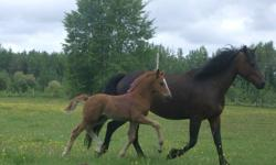 It's that time of year! Soulridge Farm is offering 4 purebred, registered Canadian weanlings for sale. 2 fillies, 2 colts. All are halter broke, and current on vaccinations, deworming and hoof trims. These are friendly, social, people oriented youngsters