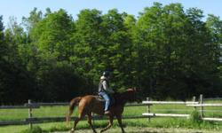 We are offering for sale an amazing Quarterhorse cross who I have owned since a yearling - he is 6. He has been professionally broken, he is kind and safe, and always willing to learn quickly. He has never taken a lame step in his life, trailers, clips,