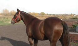 Ginger    Five year old dark, dappled chestnut quarter horse gelding.  Ginger has been driven and started under saddle.  Great confirmation, very quiet.  Excellent ladies/senior's saddle horse.  Gene pool is Leo, Peppy San, and Three Bars.