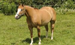 To Show you need this horse//  Bill is 5 broke here on the farm If you call we can talk bob 519-824-8258