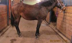 Unregistered 2 year old dark bay quarter horse gelding. Sonny is UTD on Shots and Farrier. Has been started on ground work, Sonny has had the bridle and the saddle on his back and is almost ready to get on. Sire is Reg'd QH Doc Taris Spiderman, Dam