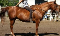"""Big Red""as we call him is a wonderful horse. He's 15.2 hh.  He's been there and done that and is quite the babysitter with new riders.  He has been used in a riding program and worked as a trail horse in his past.  He is good with kids and has ridden"