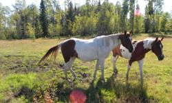 Picture 1: Tina, paint mare 5 years old Picture 2: Chance sorrel gelding 6 years old Picture 3: Cottage paint gelding 5 years old Picture 4: Blizzard sorrel gelding 4 years old Picture 5: Bay weanling We are downsizing our herd, to approved homes only!