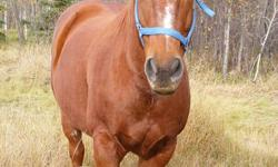 Dusty is a nicely built sorrel registered 12 yr old QH, registered name Heza Fine Major.  He is 15+ HH and comes from good bloodlines, his Sire is Definitely Major and his Dam is Upper Hanah with Major Bonanza being his grandaddy.  He is stocky built and