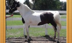 Won't stay here long!   GORGEOUS! GREAT FOR EVERYONE!!! 12 yrs old, 15.2hh, Spotted Saddle Horse Gelding. (NOT A SADDLEBRED!) ***Spotted Saddle Horse: Realitively new breed. Pinto horse mixed with gaited horses, mostly Tennesee Walkers. Different smooth
