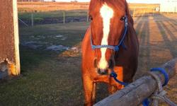 Rascal is a 5 year old Quater Horse, He is a sorrel with 3 white socks and a blaze and measures around 15 hand. He is 100% sounds and has great conformation. He ties & loads very well. Rascal was rode as a three year old but has had time off, and needs to