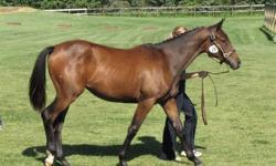 Excellent breeding on this Filly.  Sire: EH Herzzauber Dam: Hy Flutin. Will make a reliable hunter/dressage horse as well as an asset to any breeding program.  Inspected German Oldenburg Verband filly and received the Foal of Distintion award as well as
