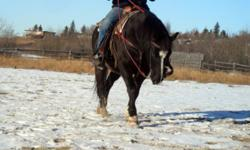 Ardee is a 10 yr old Qh welsh cross gelding, stands 14hh. Ardee is broke western, used primarily on trail. Very quiet, good to be around gelding. Though we have not had much time to spend with him, he enjoys attention and has a very sociable disposition.