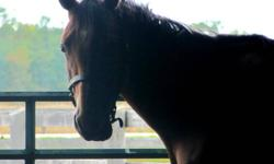 This is Delilah. Delilah is a 3 year old thoroughbred mare. She is super quiet and easy to handle. Has really great ground manners. Delilah is 15.1hh. Delilah is going english and some western. She is going walk and trot in frame and we are just starting