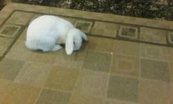 white adult female pet rabbit, house trained. comes with bag of food and glass water bottle. niagara falls