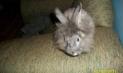 i have a reaaly cute lionhead rabbit with a large cage and water dish ad food dish , he has a  wooden house inside his cage Reason to sell : im 12 and cant afford his food