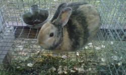 4 adult rabbits for sale, 2 males, 2 females on farm near Camrose.