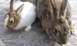 We have 2 full grown rabbits $ 10.00 each. My daughter has had rabbits for the last 5 years. These have been her pets but she is older now and more into sports etc. not as much time for them. (She still has 4 more she can't part with yet!) The bigger