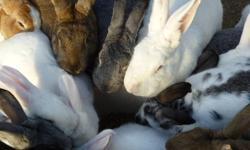 Very friendly New Zealand mix rabbits for sale.  Raised outdoors, various sizes and colors to choose from. $10 each.  Breeding females $25 each.  Please reply to this ad for more info!