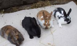 HELLO, WE HAVE MINI REX BABIES,  they are pure bred, and stay very small, perfect for any space, they are a great christmass pet. they are the friendliest and most intellingent of all breeds, geat for children and adults alike.         please call