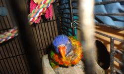Male / female , proven , green naped lory's Age unknown , not banded . no DNA on either , and I will not DNA them . not tame / wild pair but have been open cage when no eggs/chicks Bonus , this pair is very quiet ! I have raised many chicks from this pair