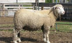 Rideau and Canadian Arcott and Ile de France ram lambs available for purchase. From high health and certified scrapie free flock. 17806823844 or cell, 17808981558