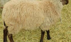 5 ram lambs available. $150.00 Great for hand spinners flock, nice fleece. Shetland X BFL (grandfather is BFL) email for info