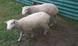 One purebred Rideau Arcott - may be registered - $350.00 One Rideau Arcott / Charollais mix - brown in colour - $240.00 One Rideau Arcott / Charollais mix - White in colour - $240.00   Born in spring 2011 Very healthy Dam's on site   Transportation