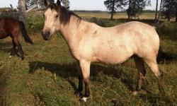 For sale is a 3 started 3 year old with a very nice disposition. I started him earlier this Fall in a colt-breaking clinic which we hosted and he is coming along very well. I will probably ride him again in the next clinic which will be on Oct. 29th at
