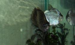 Large Green Scat 12cm.  Large Silver Dollar 12cm  Large Plecotumus 8 cm  RARE large Syndontis Melanostictus Catfish ( African Zambezi river ) 20cm ALL FOR $ 50.00