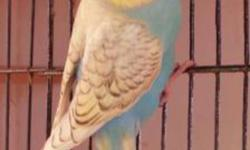 I have few of Budgies for sale, they are young birds (not tame) some are breeders and some their babies. Not old birds. Have many colors like albino, albino pied, lutino, blues, purple, spangled ...... have some English show budgies also for sale. Plz