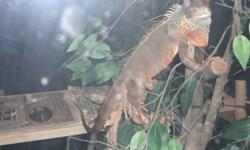 I have a red Iguana for sale he is about 2 feet long, Around a year and a half old, eats well, seems healthy. He is aggressive/skittish. if you try to pick him up he might try to tail whip you or jump out of the way. but he will eat out of my hand...