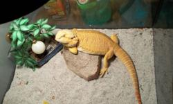I am selling my sandfire bearded dragon. I am looking for a good home with people who have expeirence with bearded dragons. I can no longer provide for her as i am having a baby and i fear i wont have time for her as much anymore, and it's not fair to