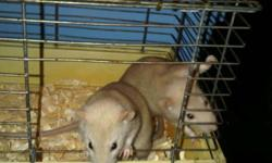 Juvenille rat for sale. uncommon beige colour. about 6 weeks old. no biting and very friendly