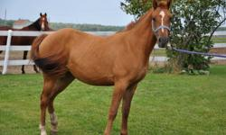 Pretty hard to find a color like Red Dun on a pony! Let alone finding one that is as super friendly as this mare. Currently at the trainers, will come home end of November with a good solid w/t/c on her. Your welcome to take her before then but the