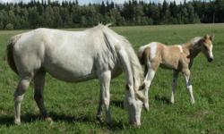 Very RARE ! Homozygous cremello tobiano broodmare with Homozygous palomino colt! Bred back same way! Good mare, quiet, throws gorgeous foals!! Not BROKE, but has NO health issues either!! Only selling due to a change in my breeding program !! The palomino