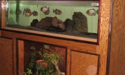 120 gallon fish tank with 7 piranhas 5-7inch long,1 placos,solid oak cabinet,two filters,rocks,air-pump,heater,sand,driftwood and 33gallon feeder tank........998 or give me offer.Fish can go separately!!