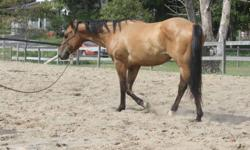 I have a very handsome Dun quarterhorse gelding who needs a good home with a pasture just for him. This horse was rescued from another farm.  He came to me with broken ribs and very malnourished.  He has since gained weight but has become very agressive