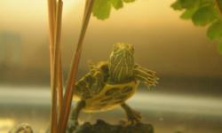 My Red Eared Slider - Turbo, is a very good turtle, he is one year old and loves to bask on his island. He is now 2.5 inches long and about 2 inches wide. Healthy and clean. I am moving away to university and there are no pets allowed in the place I am