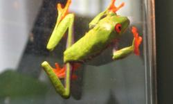We're selling our friendly little red eyed tree frog. This was a gift for my daughter and since we got our new dog she has lost complete interest in him. He is healthy and very cute! Includes tank and all accessories. Serious inquiries only please!